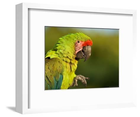 Buffon's or Great Green Macaw, at the Zoo-Joel Sartore-Framed Art Print