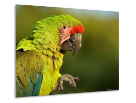 Buffon's or Great Green Macaw, at the Zoo-Joel Sartore-Metal Print