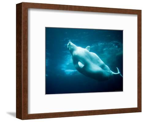 Captive Beluga Blowing Bubble Ring-Tim Laman-Framed Art Print