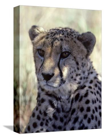 Closeup of a Cheetah, South Africa-Kenneth Garrett-Stretched Canvas Print