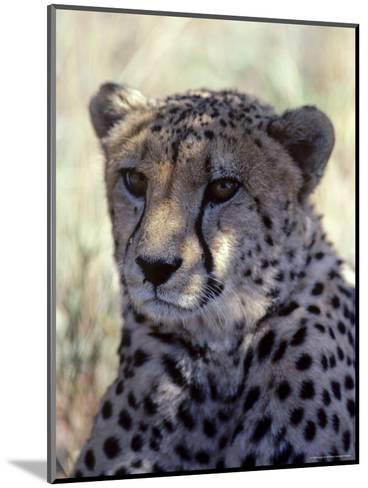 Closeup of a Cheetah, South Africa-Kenneth Garrett-Mounted Photographic Print