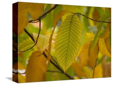 American Chestnut Tree at the Maxwell Arboretum-Joel Sartore-Stretched Canvas Print