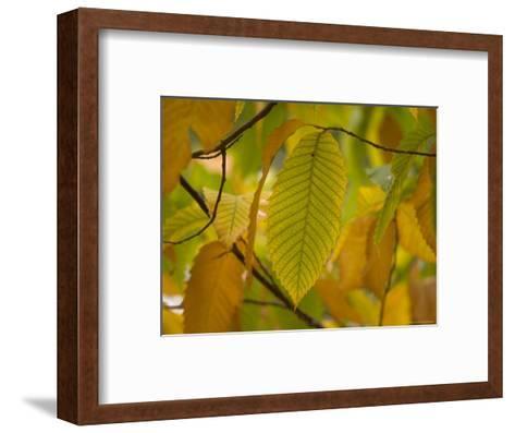 American Chestnut Tree at the Maxwell Arboretum-Joel Sartore-Framed Art Print