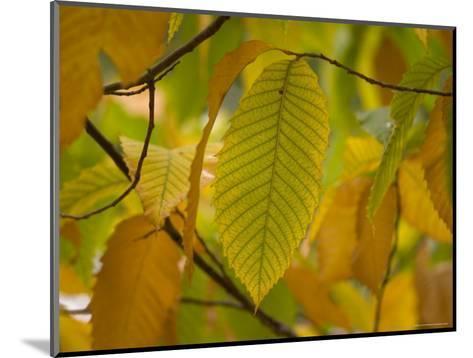 American Chestnut Tree at the Maxwell Arboretum-Joel Sartore-Mounted Photographic Print