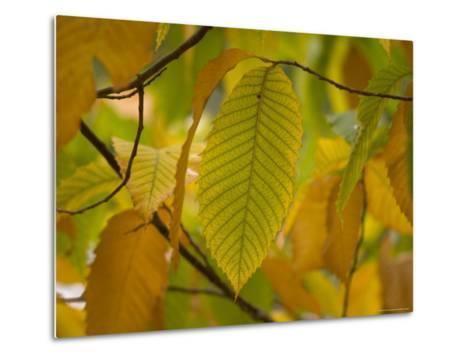 American Chestnut Tree at the Maxwell Arboretum-Joel Sartore-Metal Print