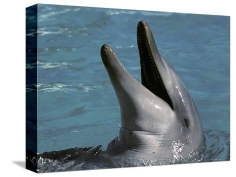 Captive Bottlenose Dolphin Displays It's Teeth Whilst Playing, Australia-Jason Edwards-Stretched Canvas Print