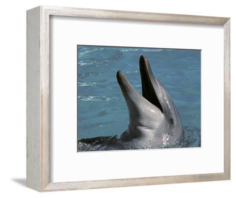 Captive Bottlenose Dolphin Displays It's Teeth Whilst Playing, Australia-Jason Edwards-Framed Art Print
