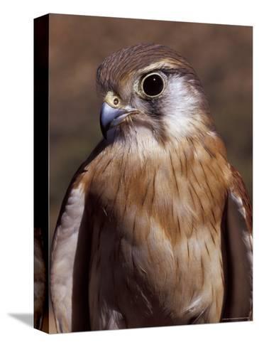 Australian Kestrel Head, Sharp Beak and Eye-Jason Edwards-Stretched Canvas Print