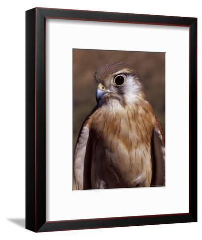 Australian Kestrel Head, Sharp Beak and Eye-Jason Edwards-Framed Art Print