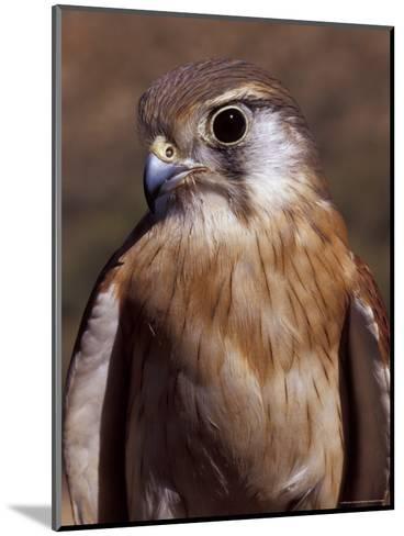 Australian Kestrel Head, Sharp Beak and Eye-Jason Edwards-Mounted Photographic Print