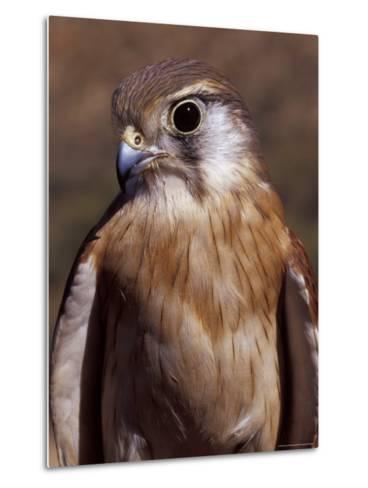 Australian Kestrel Head, Sharp Beak and Eye-Jason Edwards-Metal Print