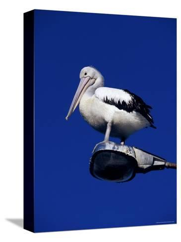 Australian Pelican Perched on Lightpole against a Sky Blue Background-Jason Edwards-Stretched Canvas Print