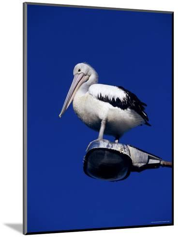 Australian Pelican Perched on Lightpole against a Sky Blue Background-Jason Edwards-Mounted Photographic Print
