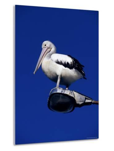 Australian Pelican Perched on Lightpole against a Sky Blue Background-Jason Edwards-Metal Print