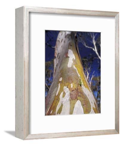 Catydid Marches Down a Textured Snow Gum Tree Trunk, Alpine Nationals Park, Australia-Jason Edwards-Framed Art Print