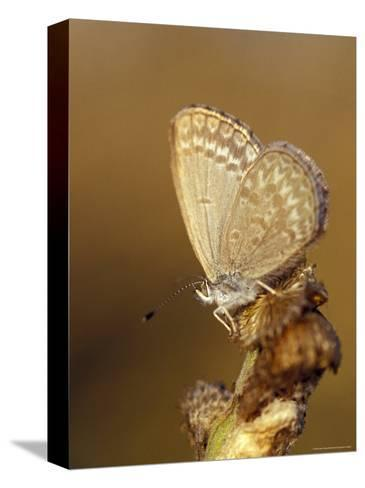 Common Grass Blue Butterfly Becomes Active as the Day Warms Up, Australia-Jason Edwards-Stretched Canvas Print