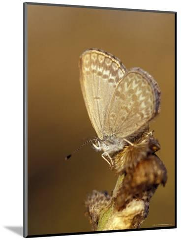 Common Grass Blue Butterfly Becomes Active as the Day Warms Up, Australia-Jason Edwards-Mounted Photographic Print