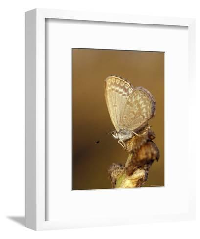 Common Grass Blue Butterfly Becomes Active as the Day Warms Up, Australia-Jason Edwards-Framed Art Print