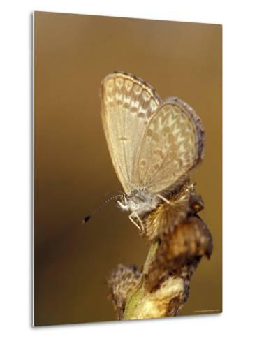 Common Grass Blue Butterfly Becomes Active as the Day Warms Up, Australia-Jason Edwards-Metal Print
