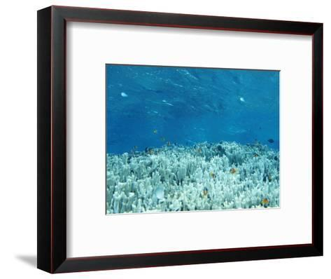 Anemone Fish Hovering over Coral Heads and Crystal Clear Water-James Forte-Framed Art Print