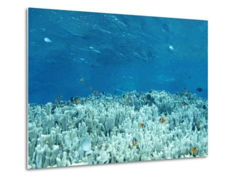 Anemone Fish Hovering over Coral Heads and Crystal Clear Water-James Forte-Metal Print