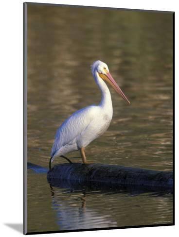 American White Pelican Perched on a Log-Rich Reid-Mounted Photographic Print