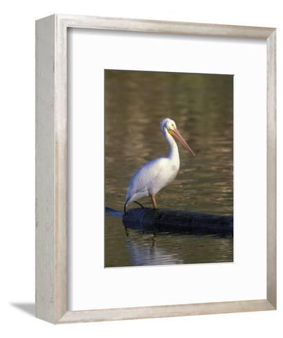 American White Pelican Perched on a Log-Rich Reid-Framed Art Print