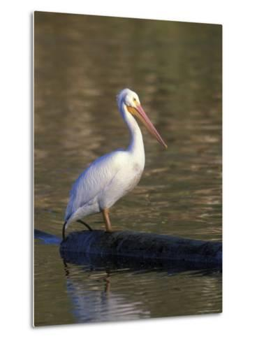 American White Pelican Perched on a Log-Rich Reid-Metal Print
