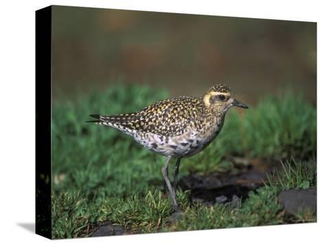 Closeup of a Pacific Golden-Plover, Hawaii-Rich Reid-Stretched Canvas Print