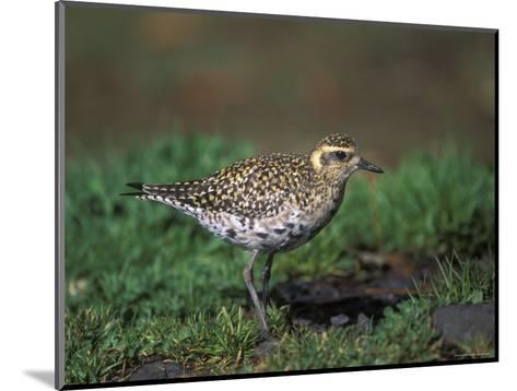 Closeup of a Pacific Golden-Plover, Hawaii-Rich Reid-Mounted Photographic Print