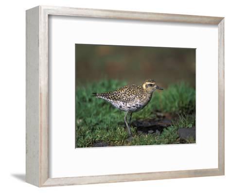Closeup of a Pacific Golden-Plover, Hawaii-Rich Reid-Framed Art Print