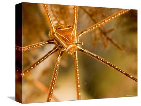 Closeup of an Arrow Crab, Malapascua Island, Philippines-Tim Laman-Stretched Canvas Print