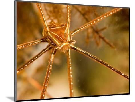 Closeup of an Arrow Crab, Malapascua Island, Philippines-Tim Laman-Mounted Photographic Print