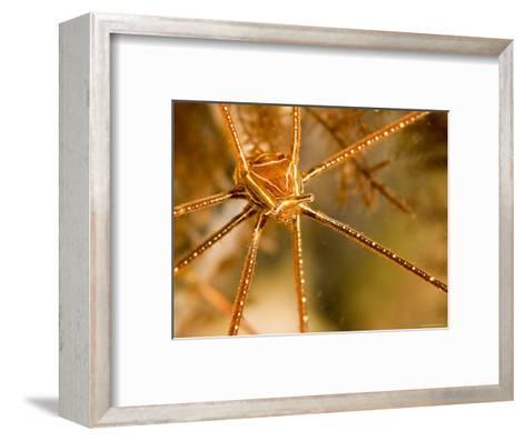 Closeup of an Arrow Crab, Malapascua Island, Philippines-Tim Laman-Framed Art Print