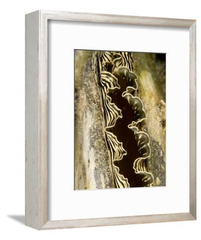 Clam with a Striped Mantle, Malapascua Island, Philippines-Tim Laman-Framed Art Print