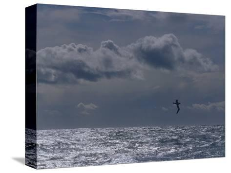 Albatross Silhouette Gliding over the Ocean against Storm Clouds, Australia-Jason Edwards-Stretched Canvas Print
