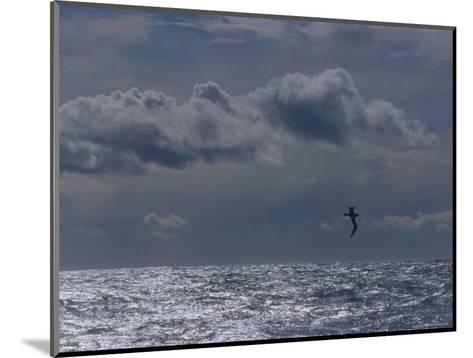 Albatross Silhouette Gliding over the Ocean against Storm Clouds, Australia-Jason Edwards-Mounted Photographic Print