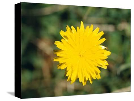 Bright Yellow Alpine Wildflower Shows It's Petals to the Sun, Alpine Nationals Park, Australia-Jason Edwards-Stretched Canvas Print