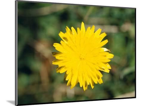 Bright Yellow Alpine Wildflower Shows It's Petals to the Sun, Alpine Nationals Park, Australia-Jason Edwards-Mounted Photographic Print
