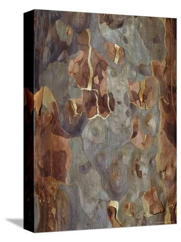 Bark Detail of the Spotted Gum Eucalypt Tree, Corymbia Maculata, Australia-Jason Edwards-Stretched Canvas Print