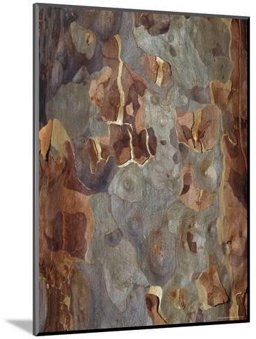 Bark Detail of the Spotted Gum Eucalypt Tree, Corymbia Maculata, Australia-Jason Edwards-Mounted Photographic Print