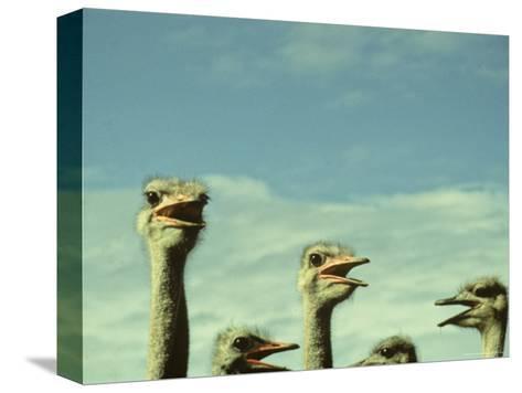 Closeup View of Ostriche Heads, South Africa-Kenneth Garrett-Stretched Canvas Print