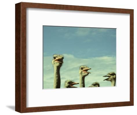 Closeup View of Ostriche Heads, South Africa-Kenneth Garrett-Framed Art Print