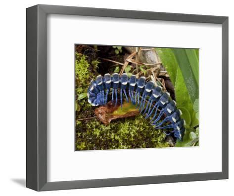 Blue Millipede Crawls Across Mosses, Mexico-George Grall-Framed Art Print