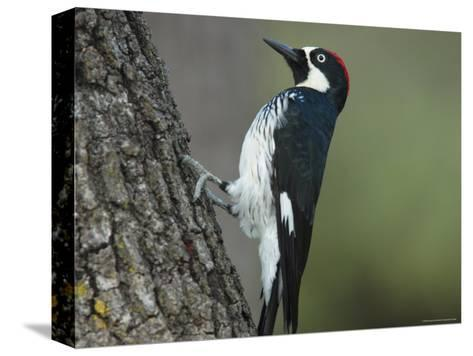 Acorn Woodpecker Pauses-George Grall-Stretched Canvas Print