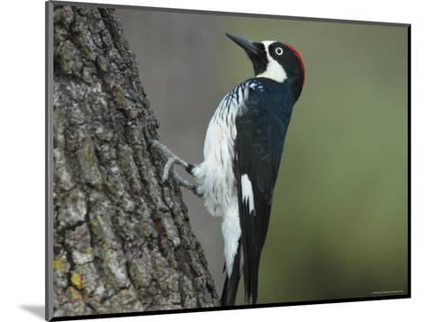 Acorn Woodpecker Pauses-George Grall-Mounted Photographic Print