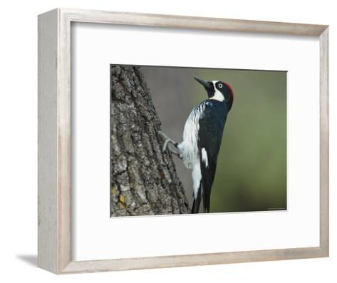 Acorn Woodpecker Pauses-George Grall-Framed Art Print