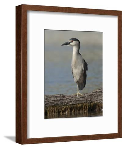 Black Crowned Night Heron Standing on One Leg, Baltimore, Maryland-George Grall-Framed Art Print