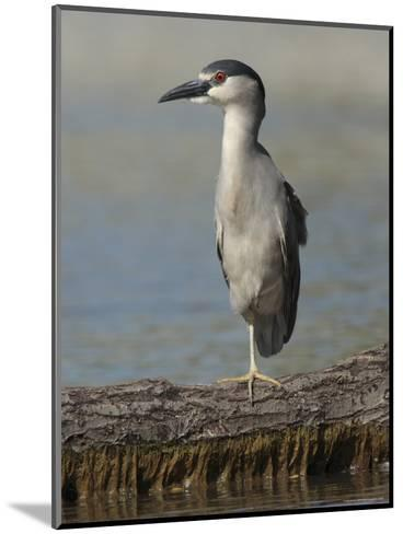 Black Crowned Night Heron Standing on One Leg, Baltimore, Maryland-George Grall-Mounted Photographic Print