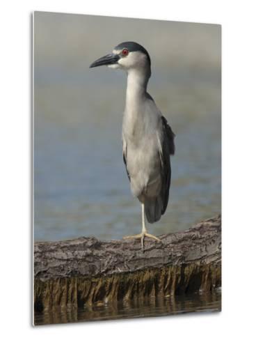 Black Crowned Night Heron Standing on One Leg, Baltimore, Maryland-George Grall-Metal Print